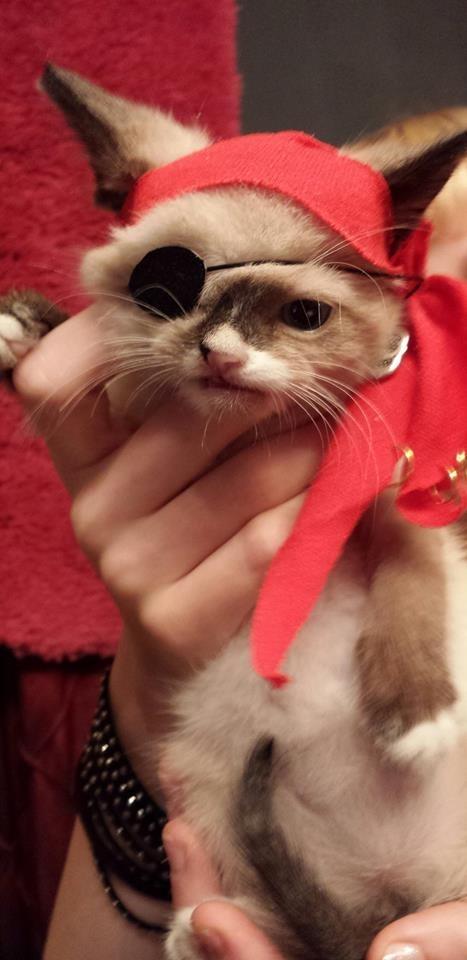 惹人憐愛的煞氣a海盜貓!9