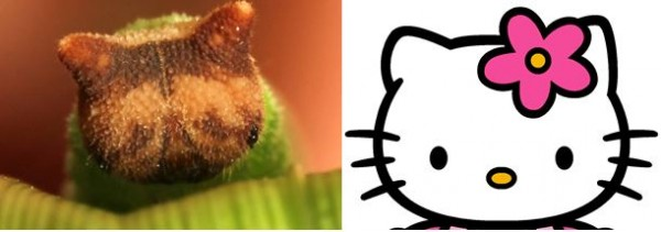 長著Hello Kitty臉的毛毛蟲(無誤)7