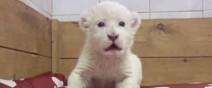 七天大的小白獅練習怎麼嘶吼......咩──?1