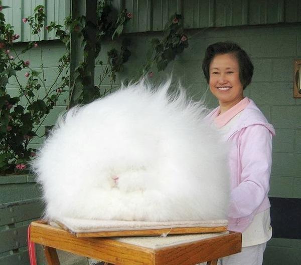 世界上最毛茸茸的兔子根本是顆大毛球1