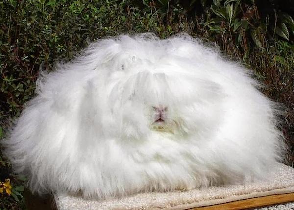 世界上最毛茸茸的兔子根本是顆大毛球2