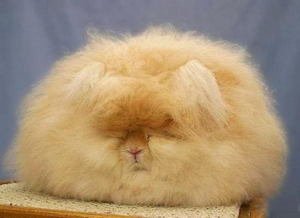 世界上最毛茸茸的兔子根本是顆大毛球3
