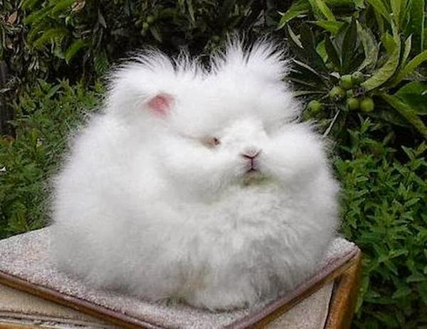 世界上最毛茸茸的兔子根本是顆大毛球4
