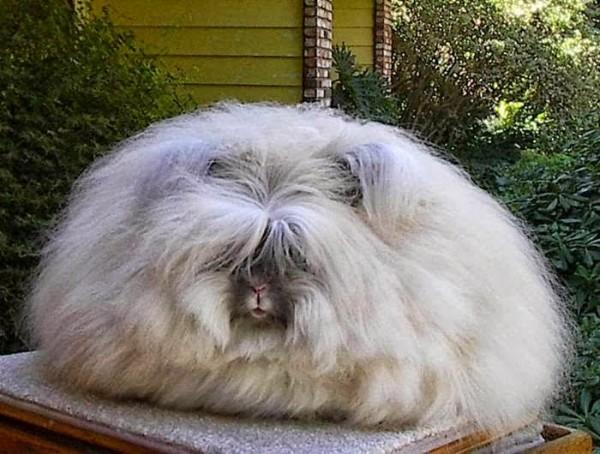 世界上最毛茸茸的兔子根本是顆大毛球5