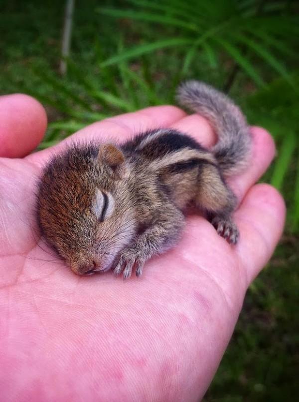 在各種奇怪地方睡著的花栗鼠寶寶1