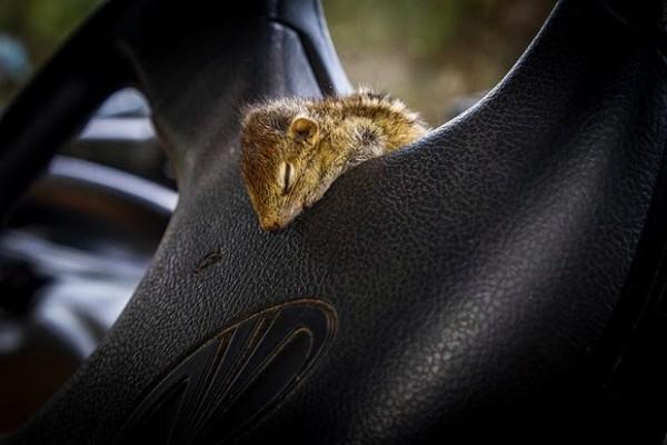 在各種奇怪地方睡著的花栗鼠寶寶10