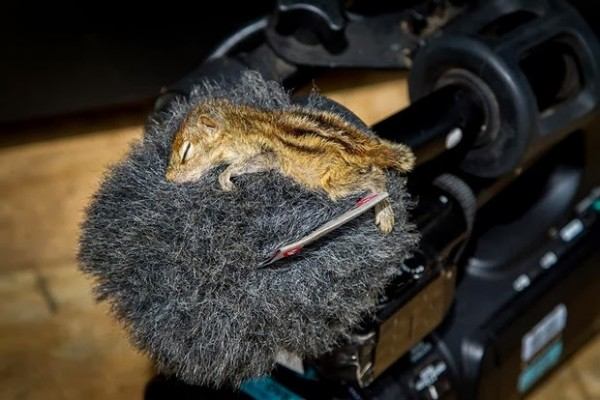 在各種奇怪地方睡著的花栗鼠寶寶11