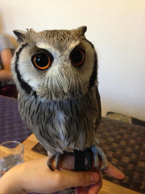 日本興起貓頭鷹咖啡店...是真的貓頭鷹!1
