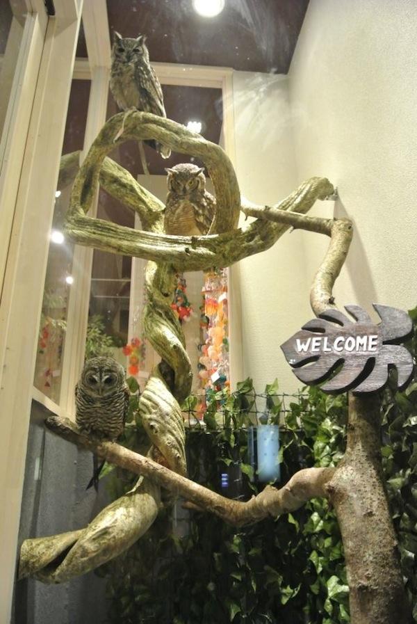 日本興起貓頭鷹咖啡店...是真的貓頭鷹!3