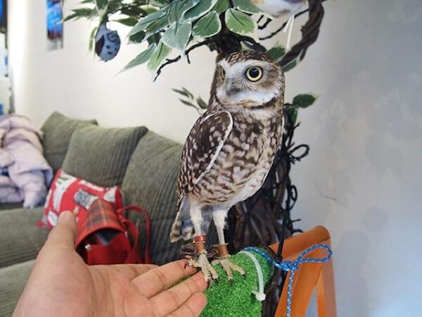 日本興起貓頭鷹咖啡店...是真的貓頭鷹!4