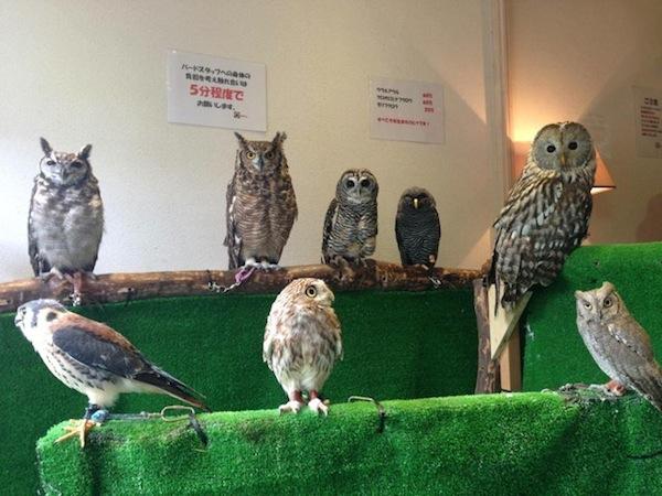 日本興起貓頭鷹咖啡店...是真的貓頭鷹!7
