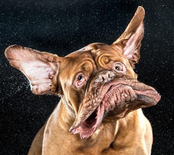 狗在甩頭時,會變成外星生物1