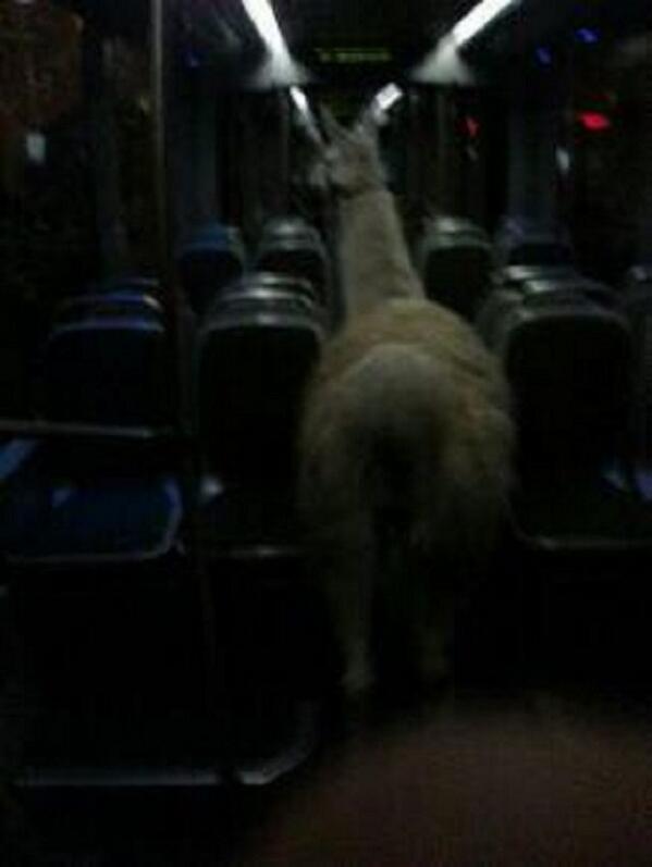喝醉青少年偷了一隻駱馬...還去搭公車3