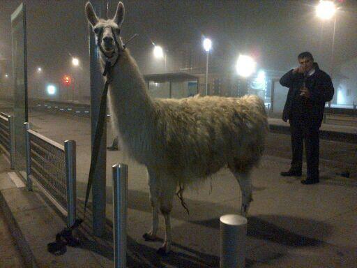 喝醉青少年偷了一隻駱馬...還去搭公車6