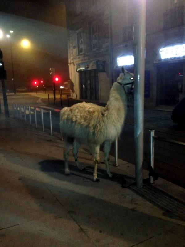喝醉青少年偷了一隻駱馬...還去搭公車7