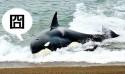 海獅好聰明!衝到海灘上躲殺人鯨的追殺