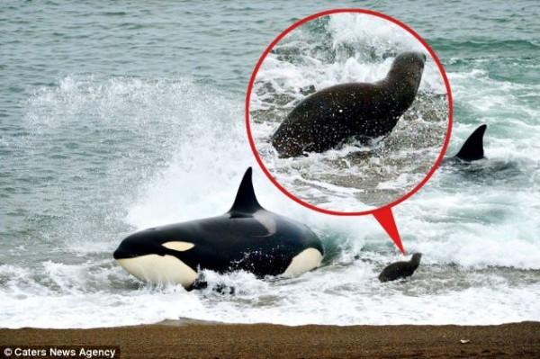 海獅好聰明!衝到海灘上躲殺人鯨的追殺1