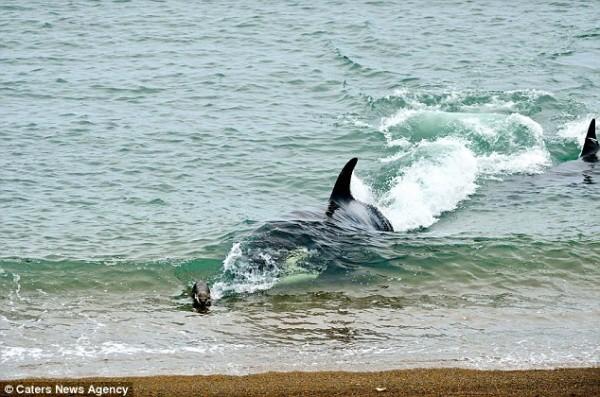 海獅好聰明!衝到海灘上躲殺人鯨的追殺2