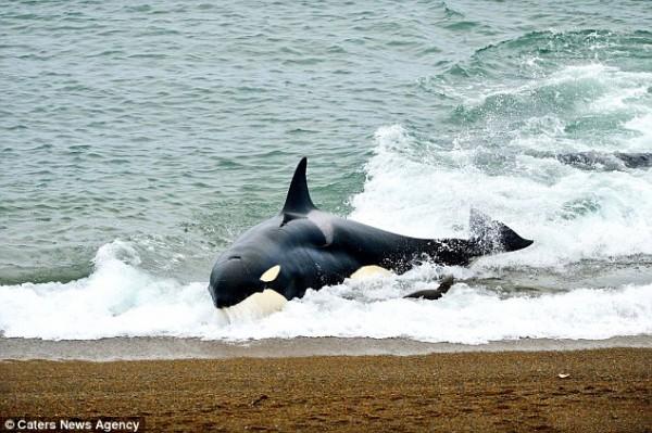 海獅好聰明!衝到海灘上躲殺人鯨的追殺4