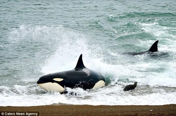 海獅好聰明!衝到海灘上躲殺人鯨的追殺5