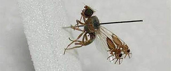 超強演化!果蠅的翅膀上長出螞蟻圖案