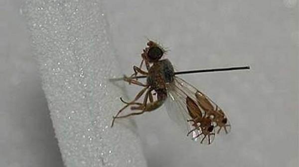 超強演化!果蠅的翅膀上長出螞蟻圖案1