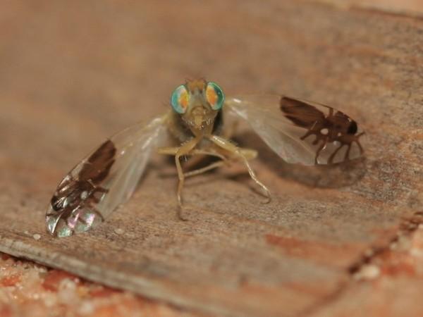 超強演化!果蠅的翅膀上長出螞蟻圖案2