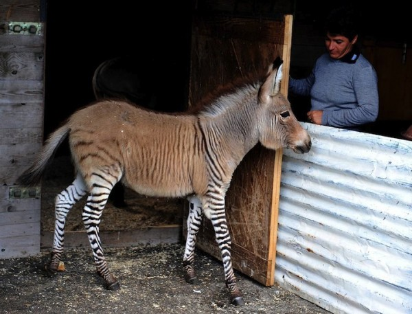 驢子x斑馬,可愛度必須加乘計算!8