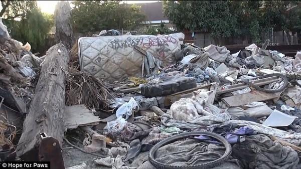 在垃圾場被拋棄的哈士奇,重生過程會讓你起雞皮疙瘩1