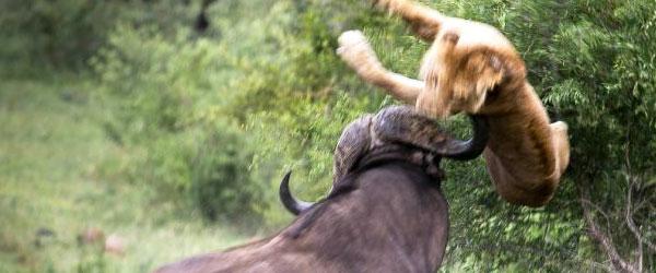 水牛魂!獅子吃小水牛,遭到另隻大水牛撞飛