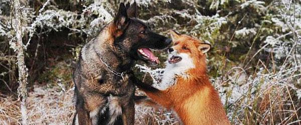 狐狸與獵狗的美好結局(真實版)