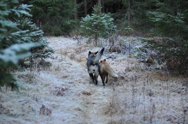 狐狸與獵狗的美好結局(真實版)10