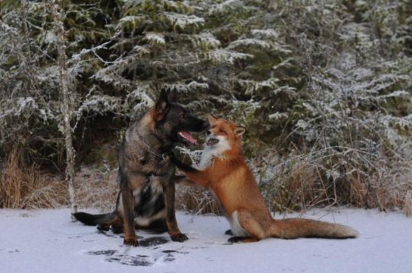 狐狸與獵狗的美好結局(真實版)3