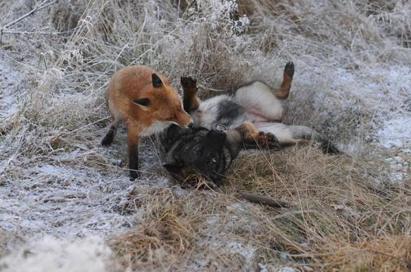 狐狸與獵狗的美好結局(真實版)4