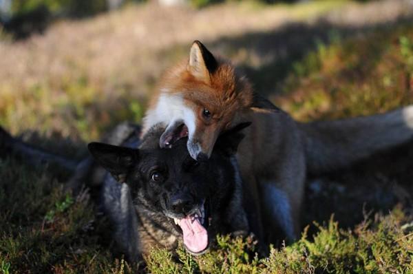 狐狸與獵狗的美好結局(真實版)6