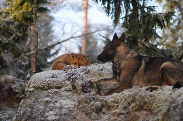 狐狸與獵狗的美好結局(真實版)8