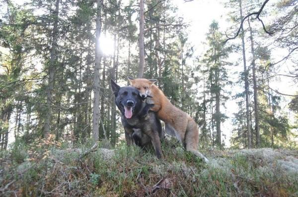 狐狸與獵狗的美好結局(真實版)9