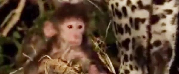 豹咬死狒狒媽媽後,才發現狒狒寶寶全程目睹!結局異常感人...