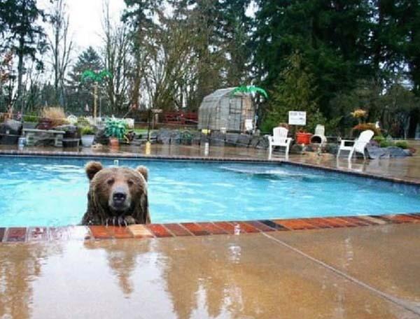 人類收養兩隻野熊6