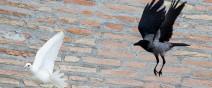 梵諦岡的和平鴿