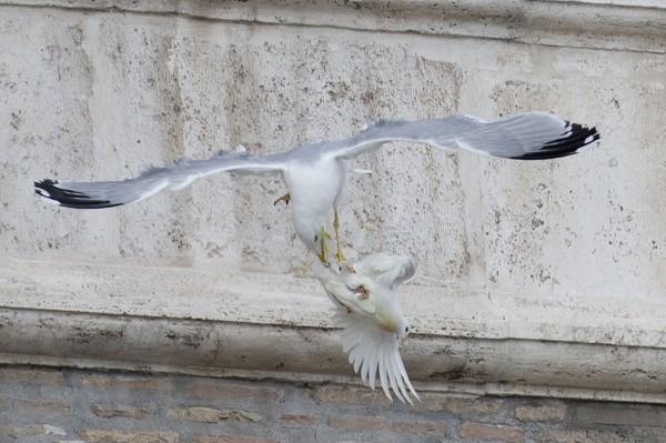 梵諦岡的和平鴿2