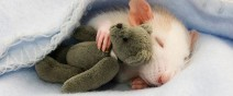 老鼠超愛小熊娃娃!