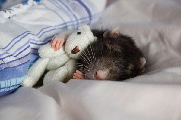 老鼠超愛小熊娃娃!1