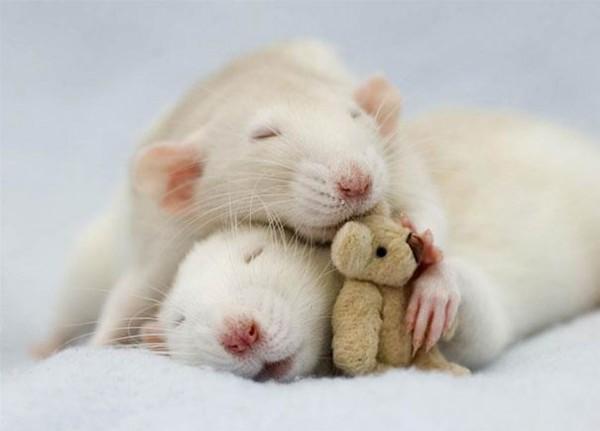 老鼠超愛小熊娃娃!2