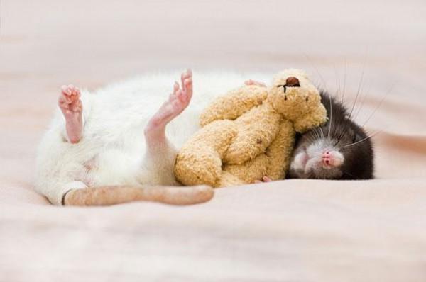 老鼠超愛小熊娃娃!4