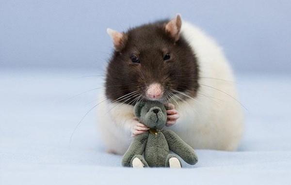 老鼠超愛小熊娃娃!5