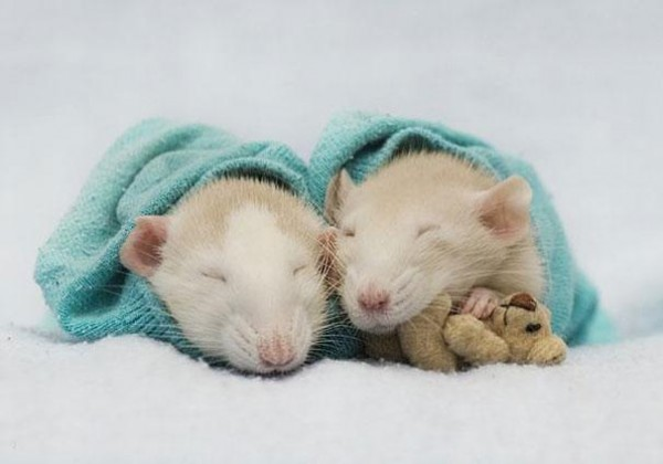 老鼠超愛小熊娃娃!6