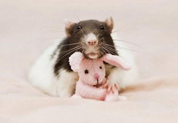 老鼠超愛小熊娃娃!8