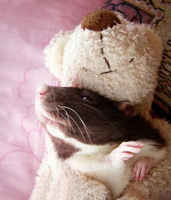 老鼠超愛小熊娃娃!9