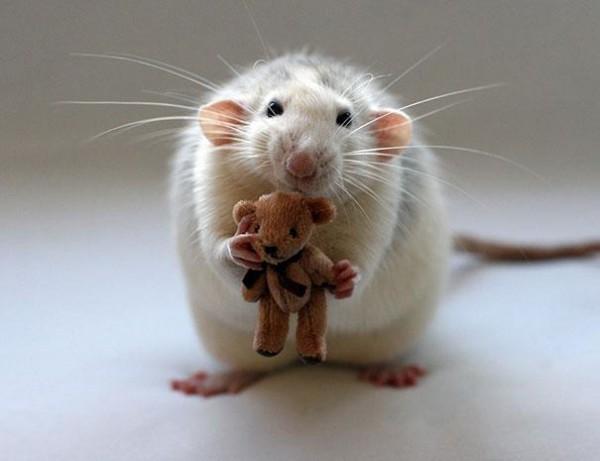 老鼠超愛小熊娃娃11